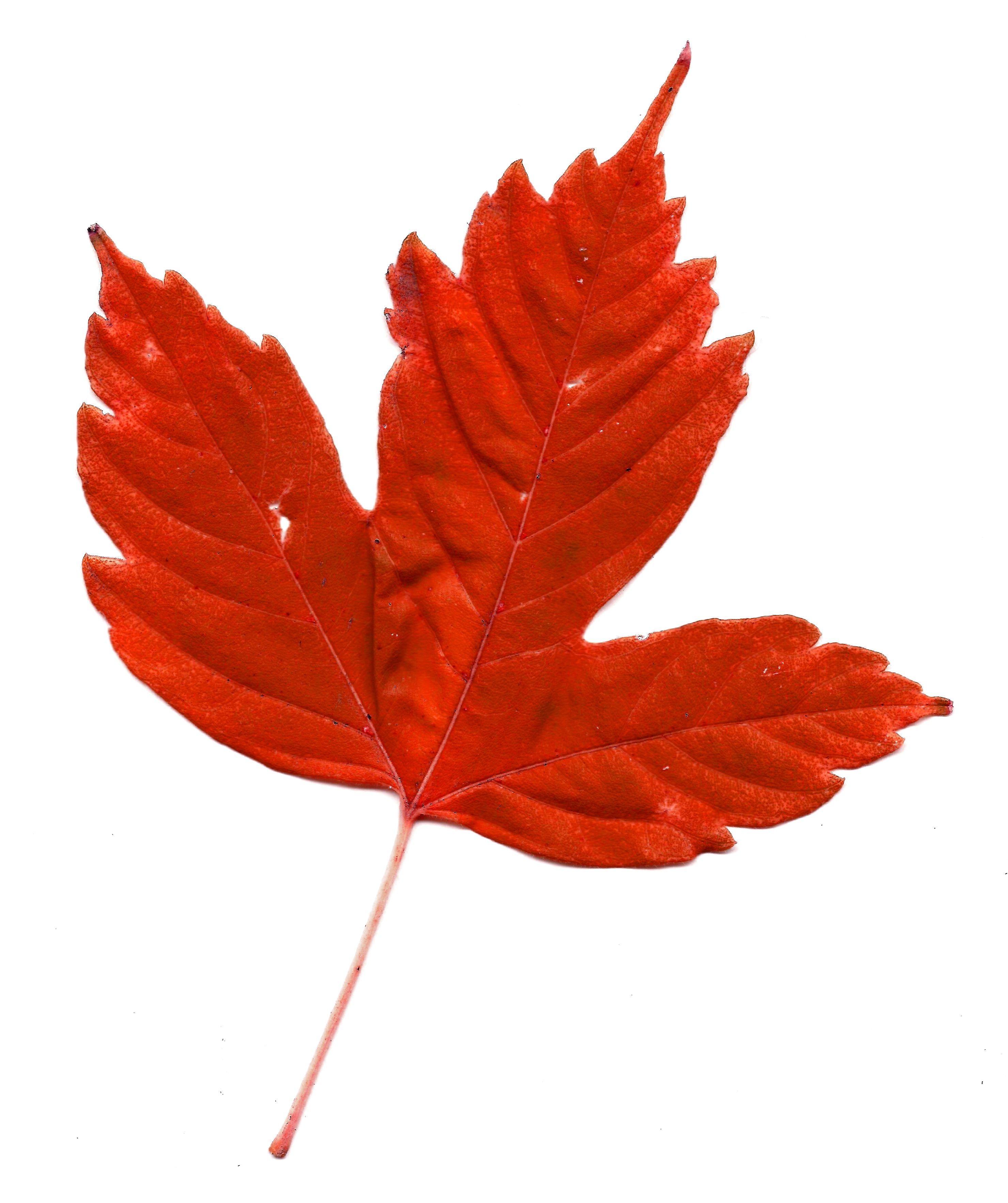 Red Maple Leaf Clip Ar...