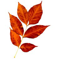 sprig-of-fall-leaves-orange-thumbnail