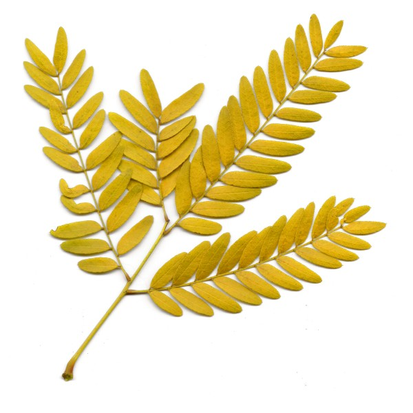 Sprig of Yellow Fall Locust Leaves - Free High Resolution Photo