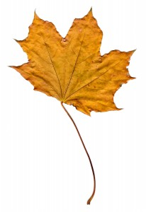 Golden Fall Maple Leaf - Free High Resolution Photo