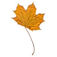golden-fall-maple-leaf-thumbnail