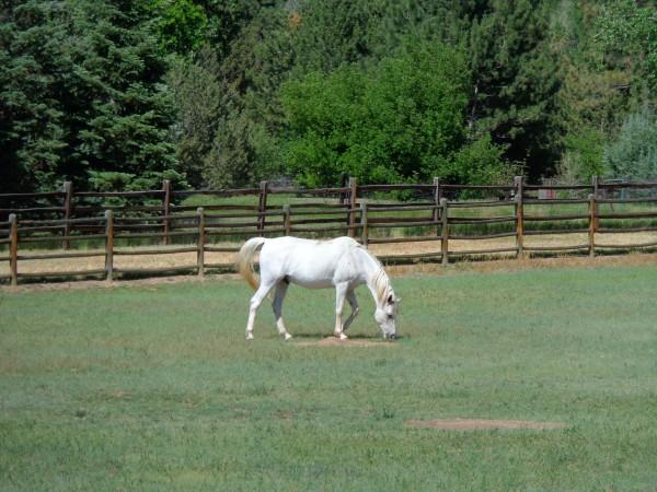 White Horse Grazing - Free High Resolution Photo