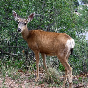 Mule Deer Doe - Free High Resolution Photo