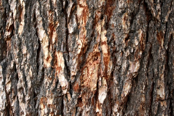 Pine Tree Bark Texture - Free High Resolution Photo