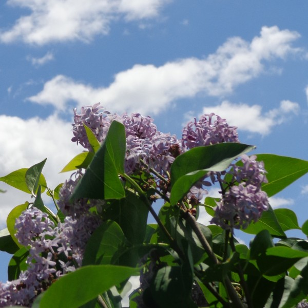 Lilac Blossoms with Blue Sky - Free High Resolution Photo