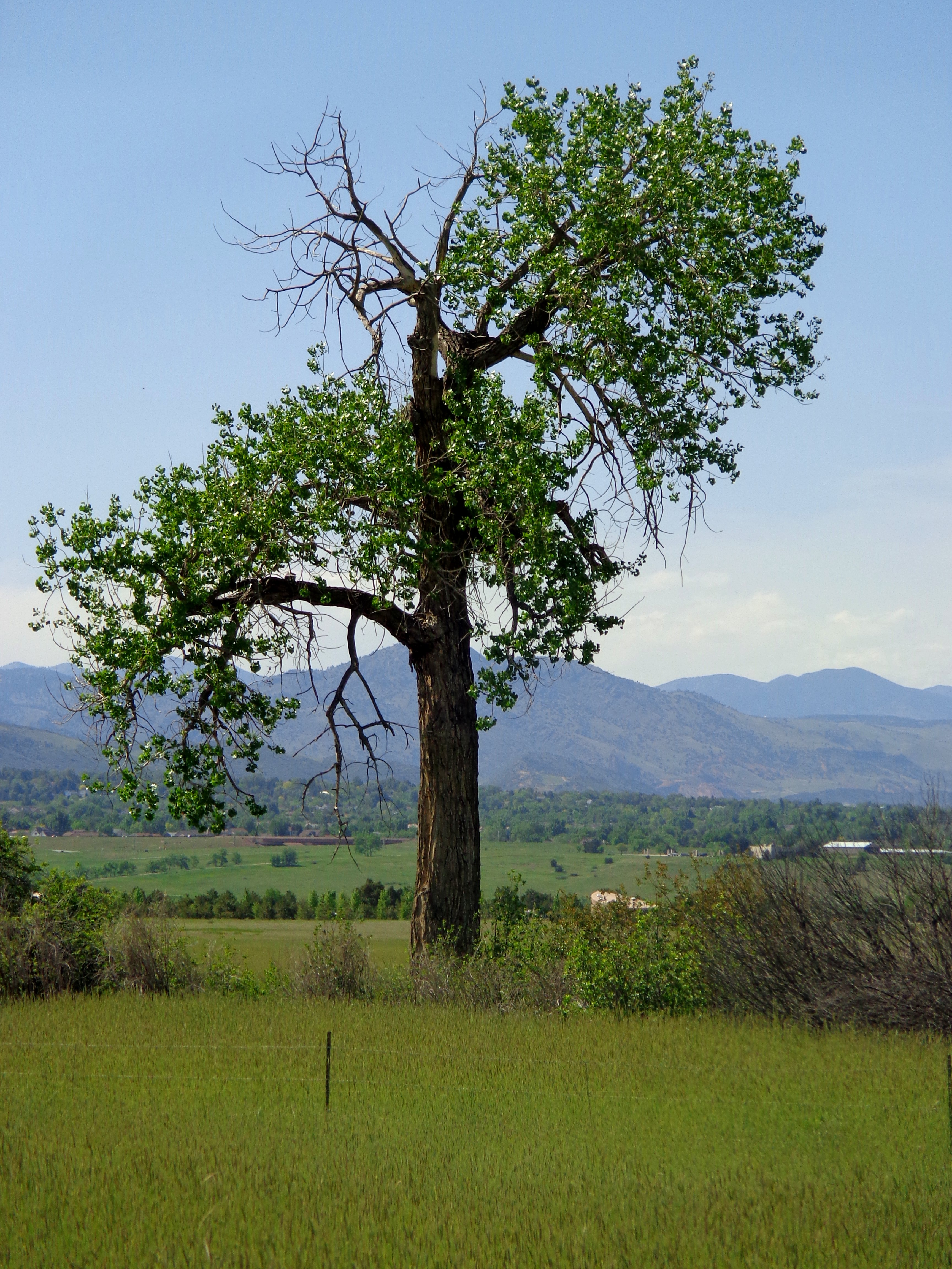 Lone Old Cottonwood Tree Picture Free Photograph