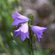 purple-bellfowers-close-up-thumbnail