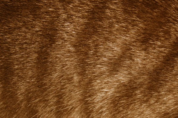 Brown Tabby Fur Texture - Free High Resolution Photo