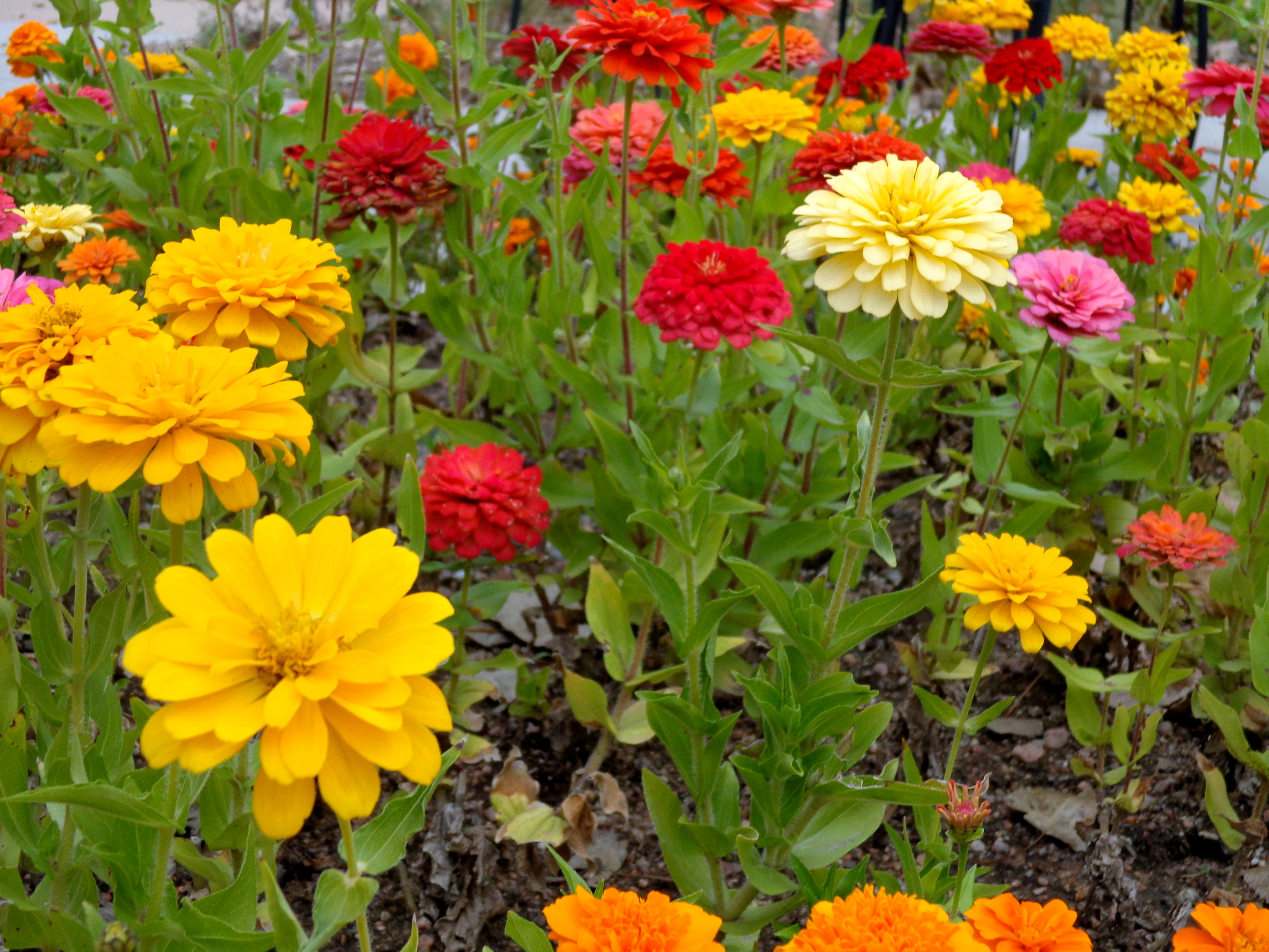 Colorful Zinnia Flowers Picture Free graph