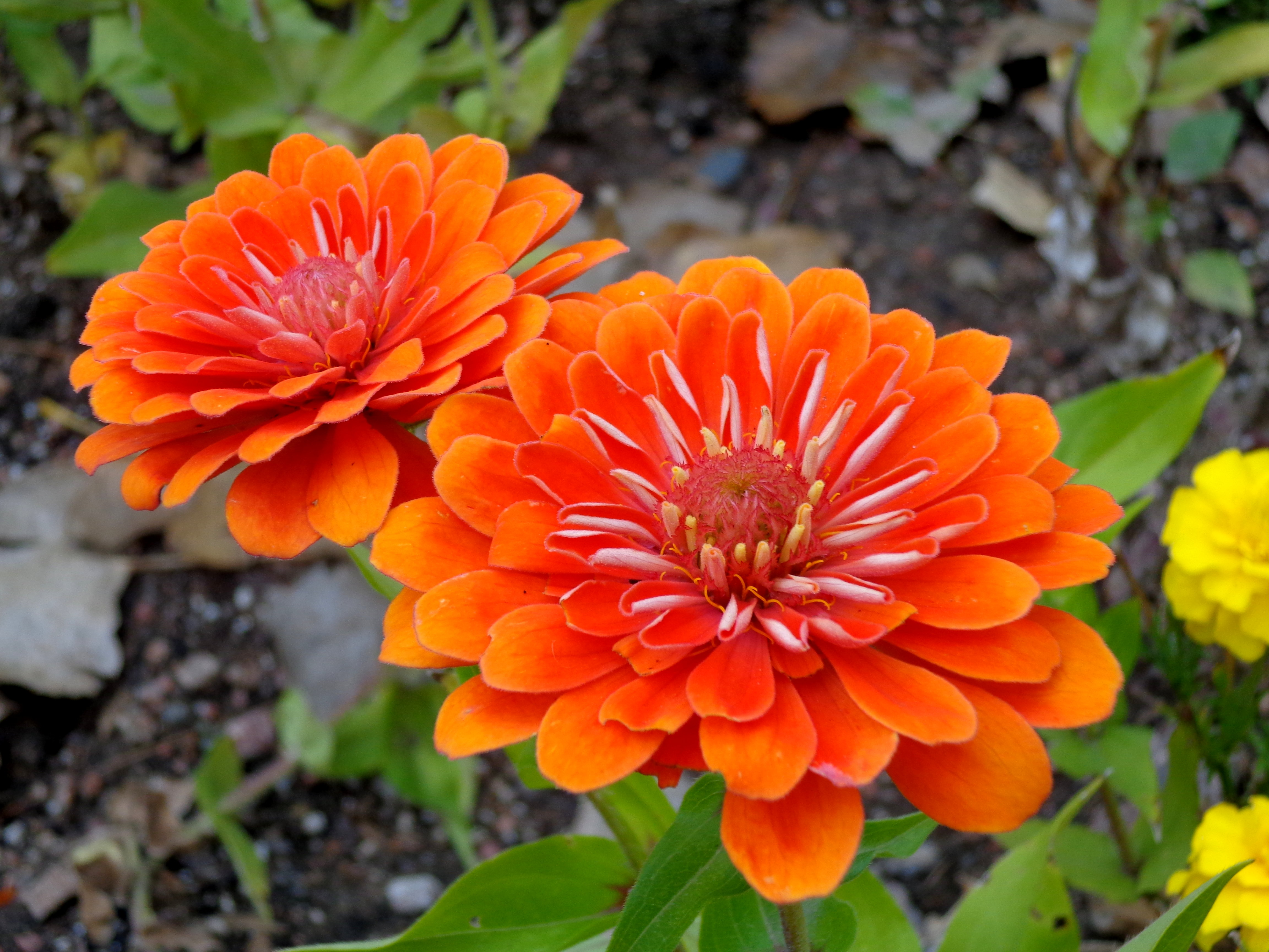 Orange Zinnia Flowers Picture Free graph