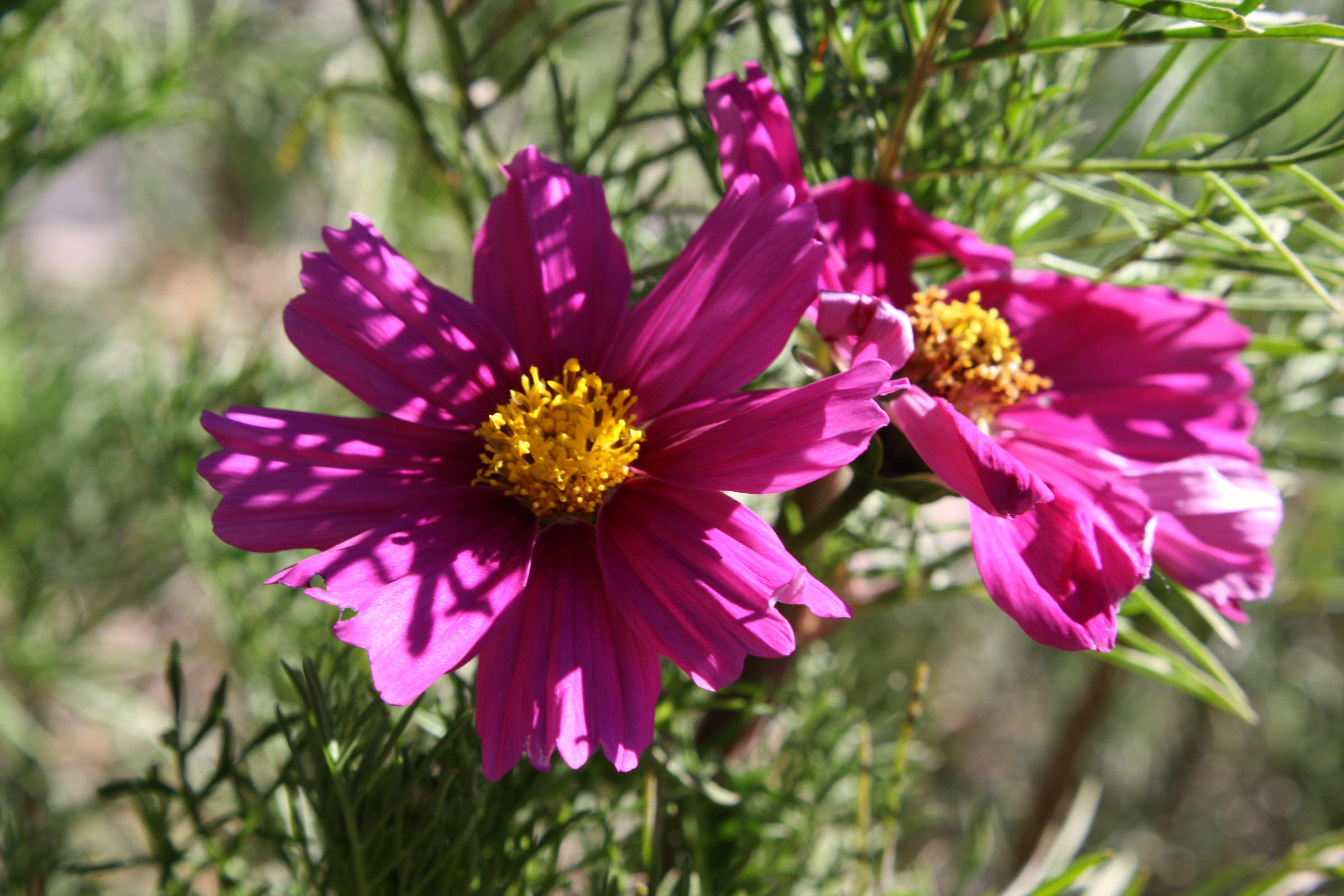 purple cosmos flowers picture free photograph photos public domain
