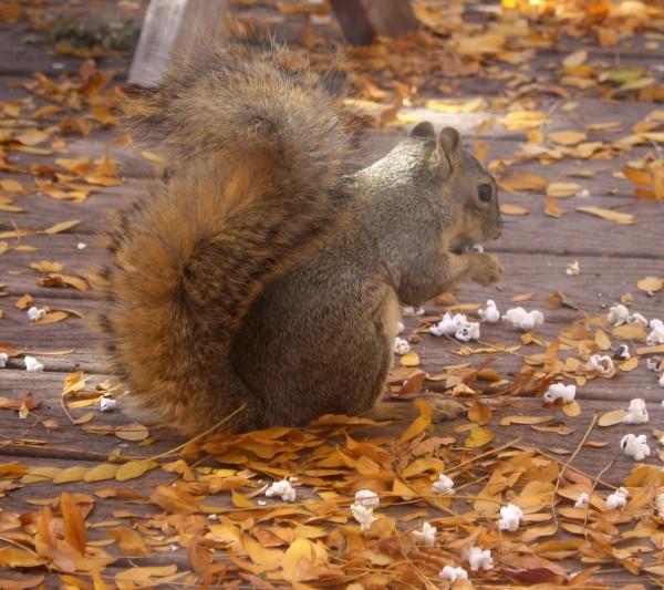 Squirrel Eating Popcorn - Free High Resolution Photo