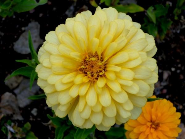 Yellow Zinnia Flower - Free High Resolution Photo