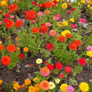 Zinnias - Free High Resolution Photo