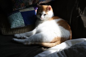 Orange and White Cat in Sunbeam - Free High Resolution Photo