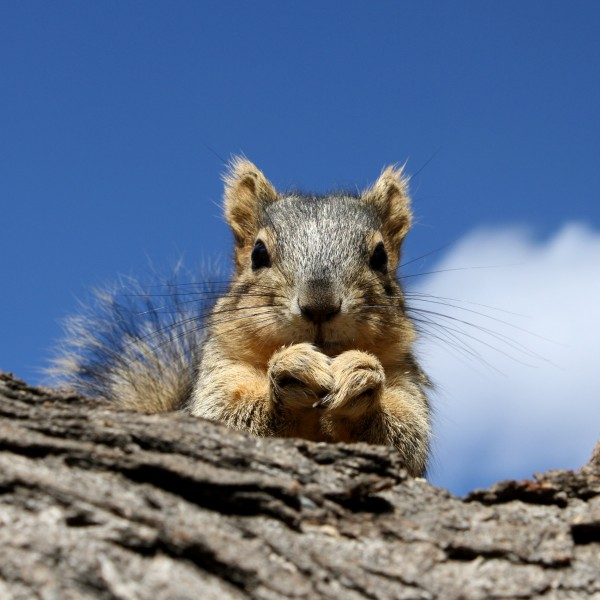 Squirrel Peering Over Edge of Branch - Free High Resolution Photo