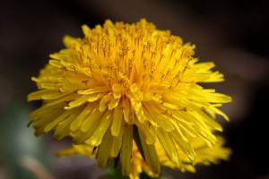 Dandelion Flower Close Up - Free High Resolution Photo