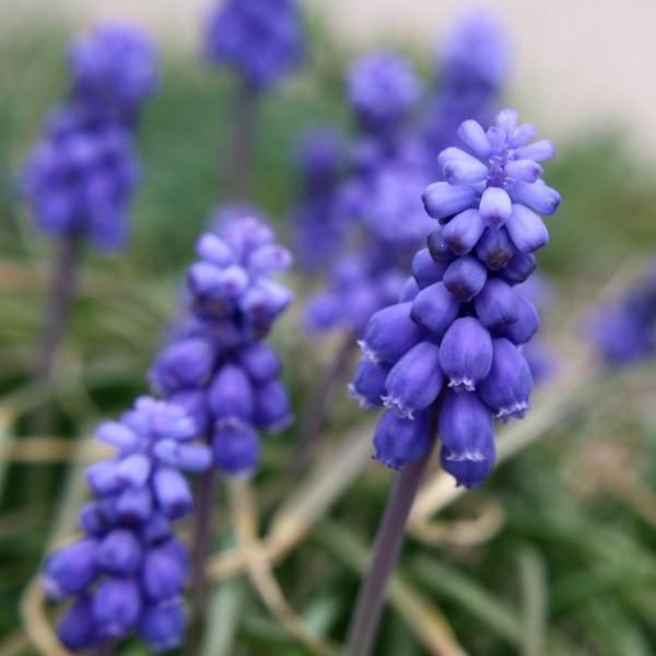 Grape Hyacinth Flowers Close Up - Free High Resolution Photo