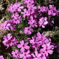 Pink Creeping Phlox - Free High Resolution Photo