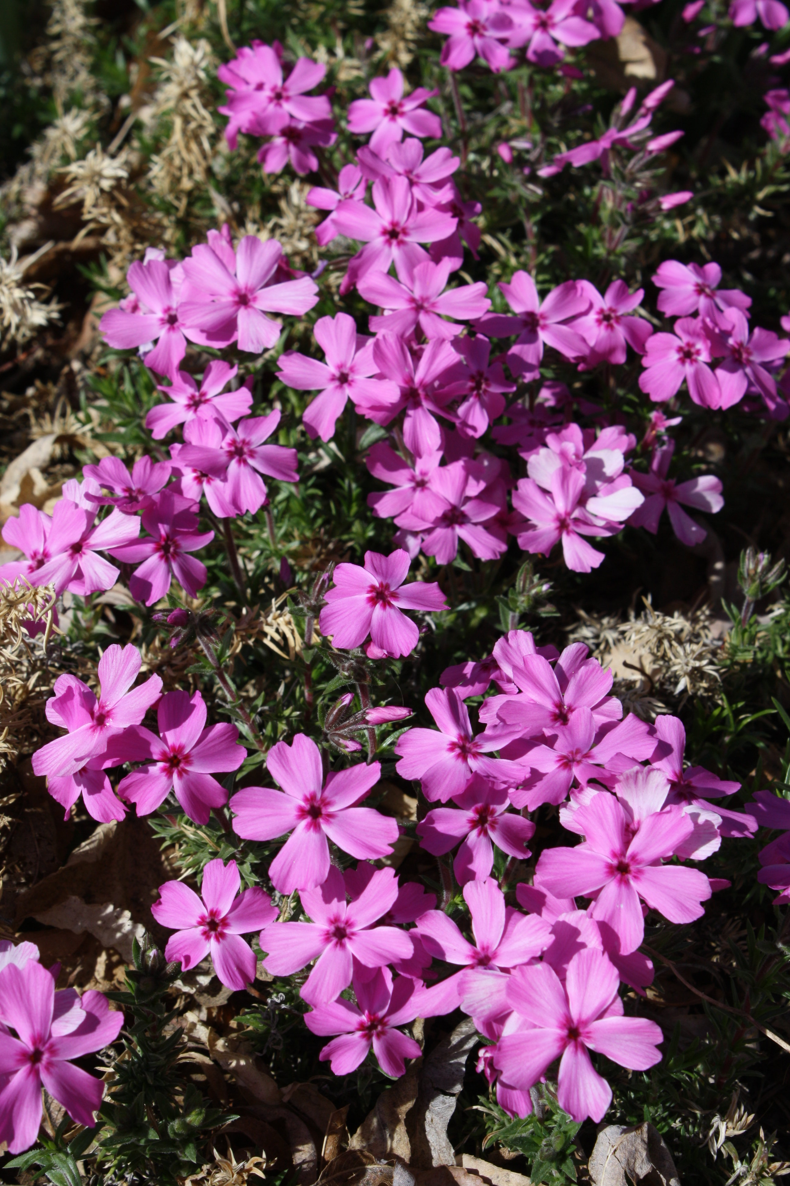 Pink Creeping Phlox Picture Free Photograph Photos