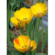 yellow-flame-tulips-thumbnail