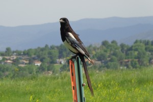 Magpie Bird Perched on Metal Fence Post - Free High Resolution Photo