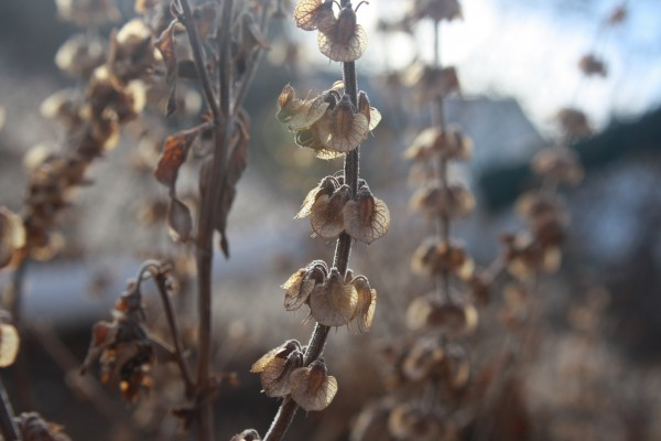 Stalks of Dried Basil Seeds - Free High Resolution Photo