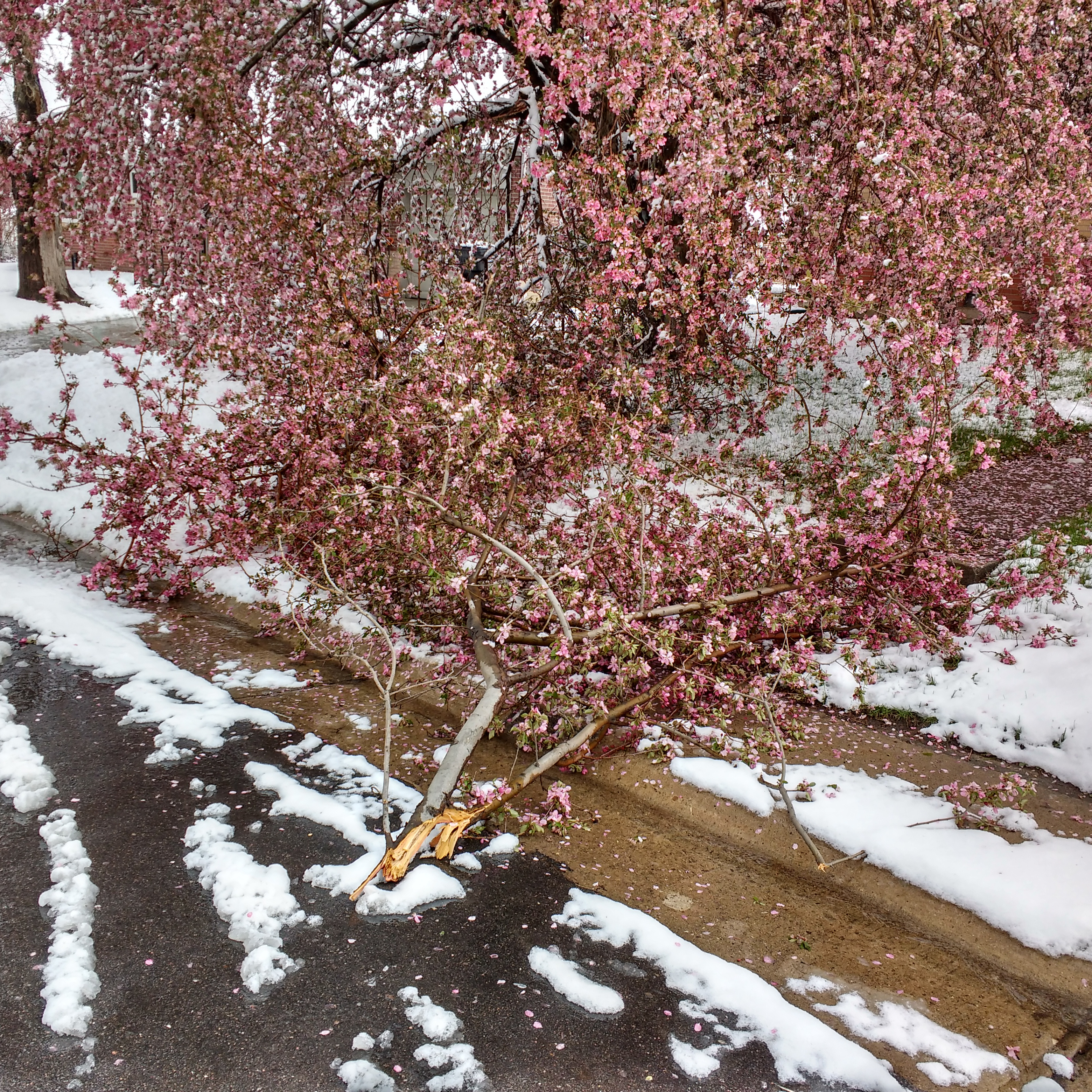 Crabapple Tree Damaged By Spring Snow Picture Free Photograph