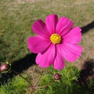 Pink Cosmos Flower - Free High Resolution Photo