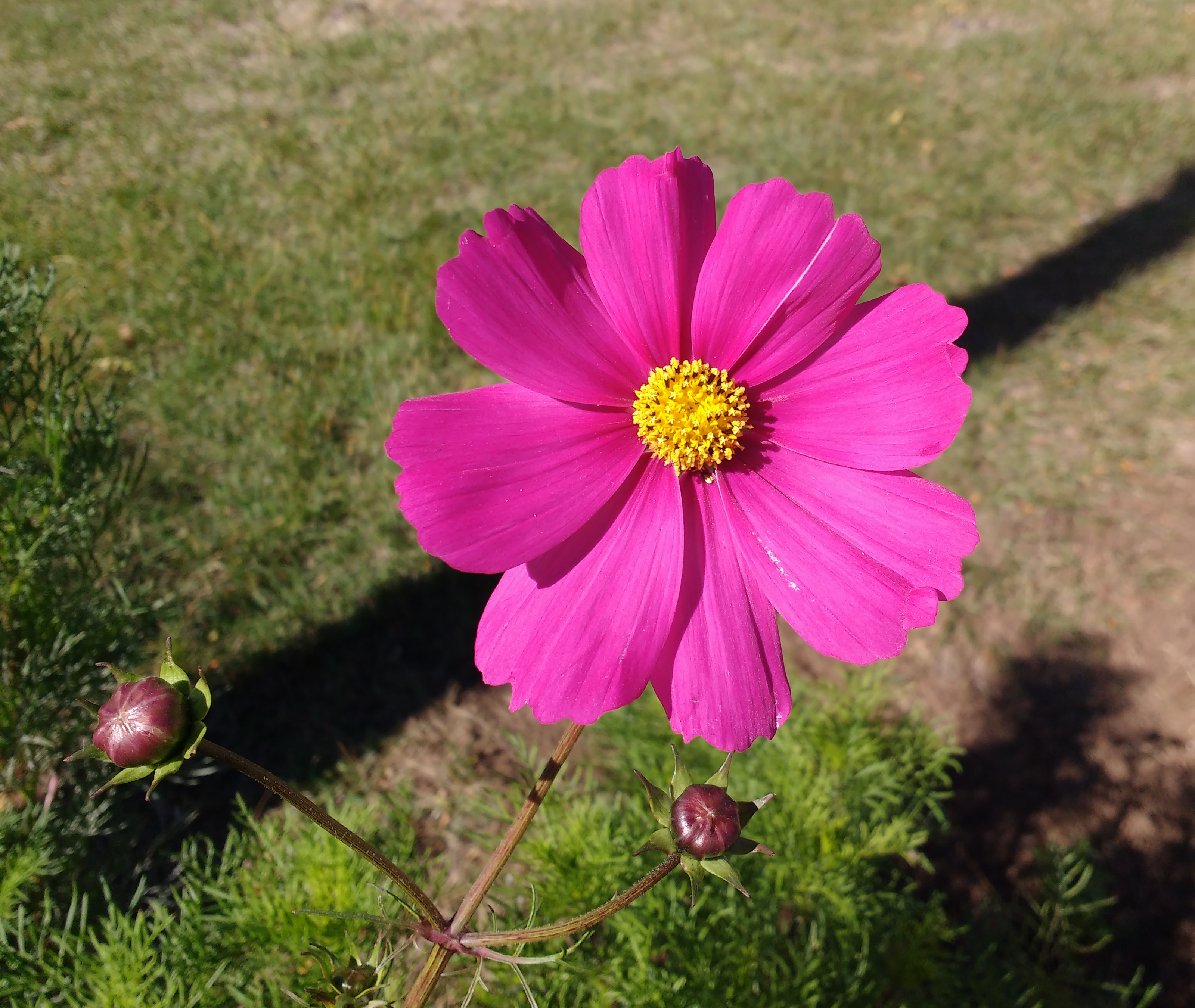 Pink Cosmos Flower Picture Free Photograph Photos Public Domain