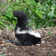 Skunk - Free High Resolution Photo