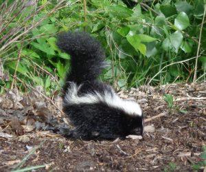 Skunk - Free High Resolution Photo