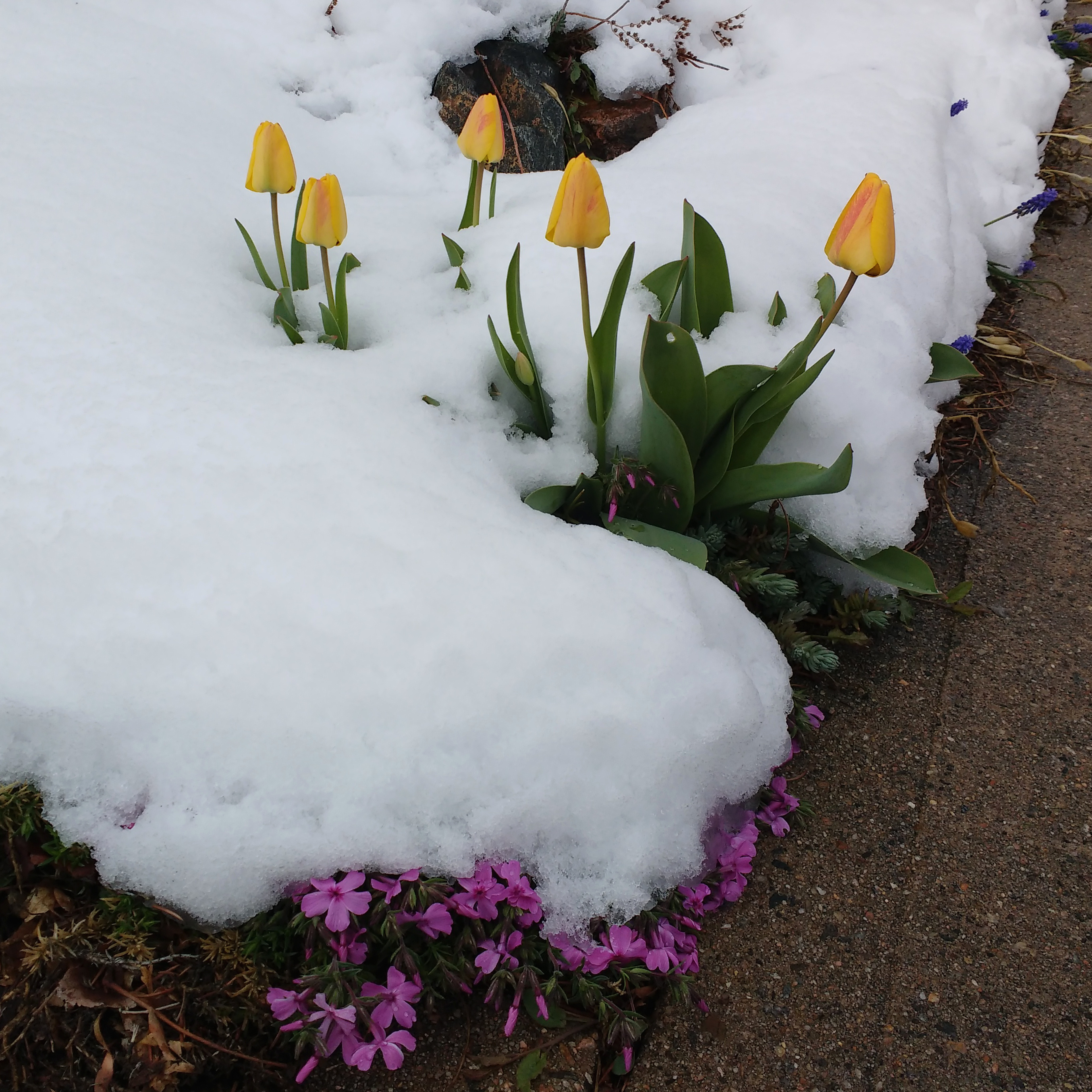 Spring Flowers Covered In Snow Picture Free Photograph Photos
