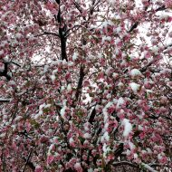 Spring Snow on Pink Crabapple Tree