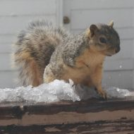Squirrel with Melting Snow - Free High Resolution Photo
