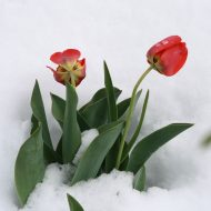 Tulips in Snow - Free High Resolution Photo