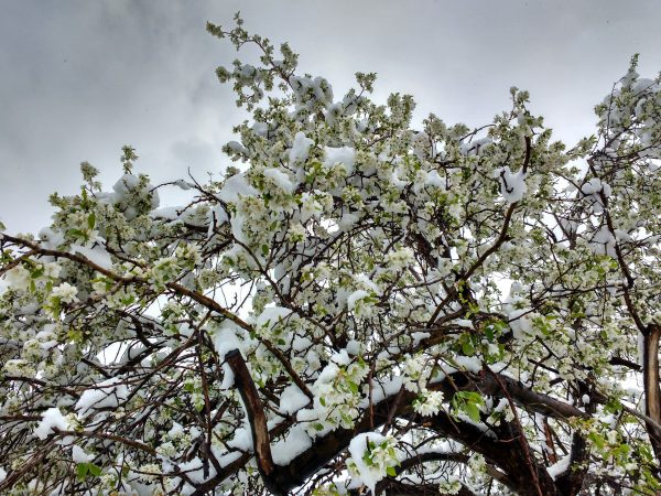 Spring Snow on White Blossoms - Free High Resolution Photo