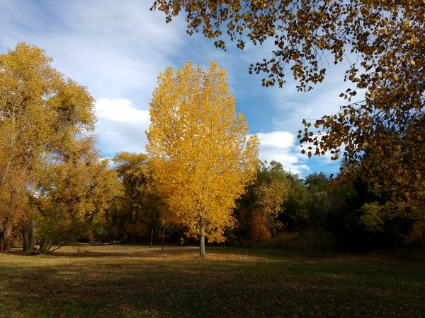 Autumn Tree with Golden Leaves - Free High Resolution Photo