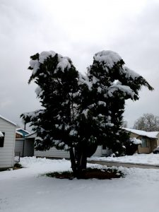 Evergreen Tree Weighed Down with Heavy Spring Snow - Free High Resolution Photo