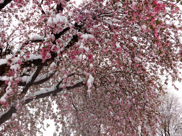 Snow on Blooming Crabapple Tree - Free High Resolution Photo