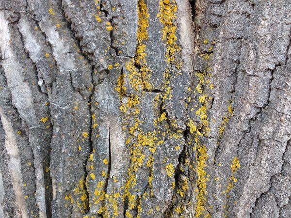 Yellow Lichen on Bark of Tree Trunk - Free High Resolution Photo