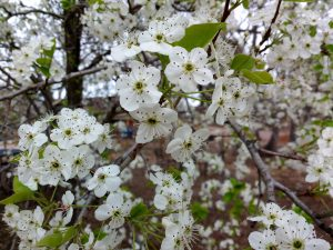 White Callery Pear Blossoms - Free High Resolution Photo