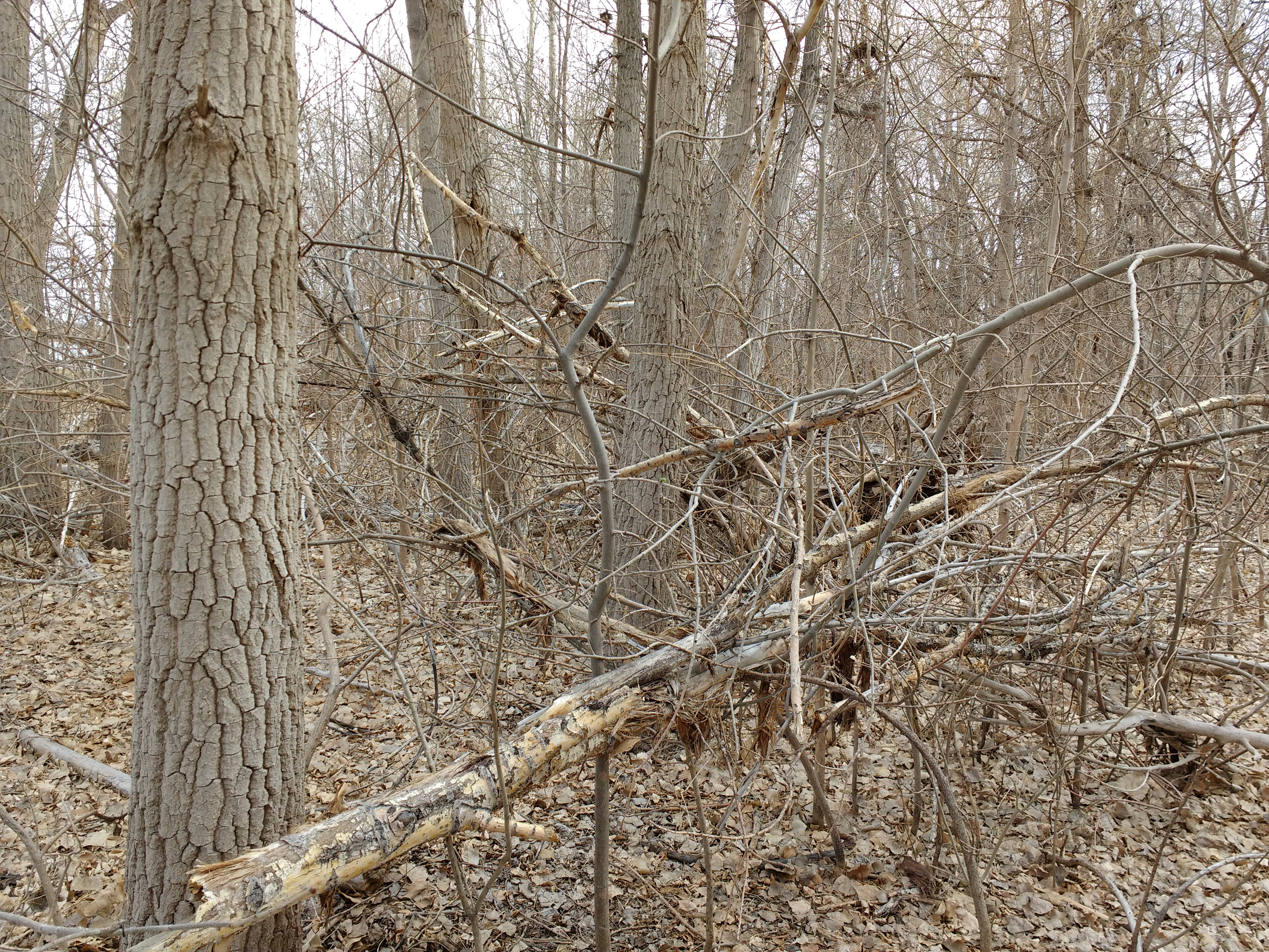 Fallen Tree Branches in Winter Woods Picture | Free ...