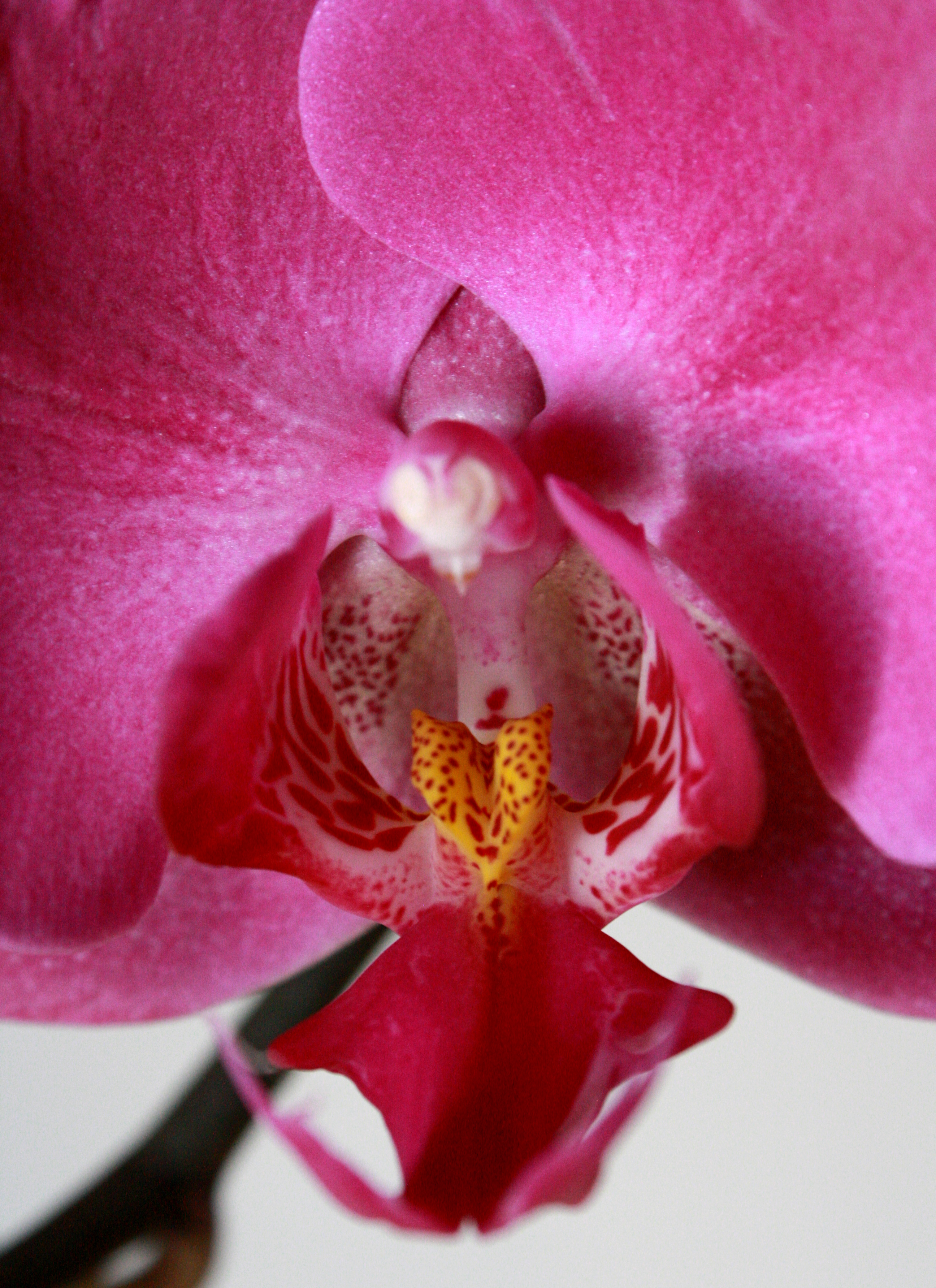 pink orchids close up -#main