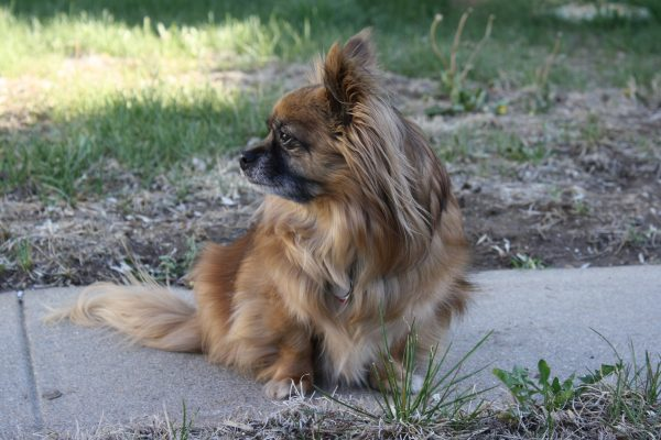 Long Haired Chihuahua Mix Dog - Free High Resolution Photo