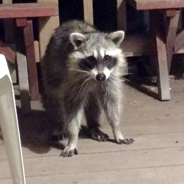 Raccoon Looking Surprised - Free Photo