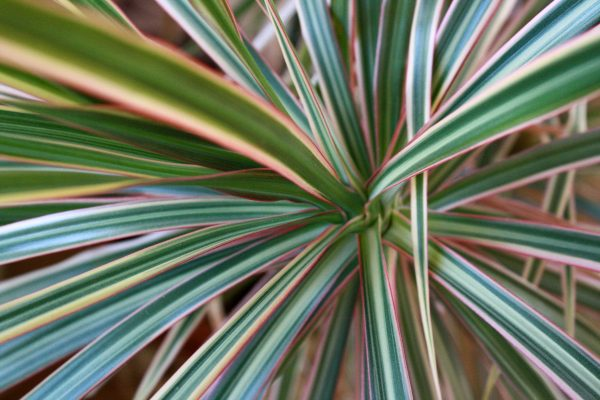 Red and Green Dragon Tree Leaves Close Up - Free High Resolution Photo