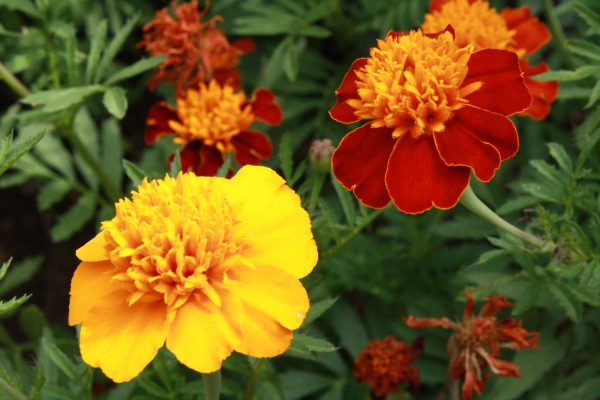Marigold Flowers - Free High Resolution Photo