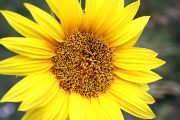 Yellow Sunflower - Free High Resolution Photo