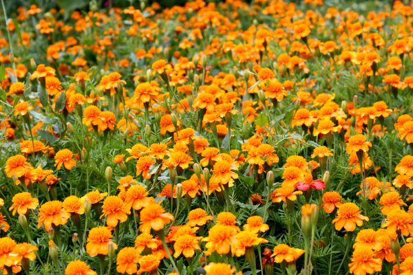 Field of Marigolds - Free High Resolution Photo